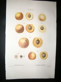 Redoute C1800 Folio Hand Col Botanical Print. Apricot Fruit